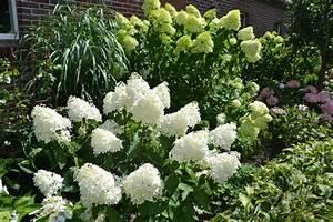 Hydrangea Paniculata Schneiden : rispenhortensie limelight rispenhortensie 39 limelight 39 ~ Lizthompson.info Haus und Dekorationen