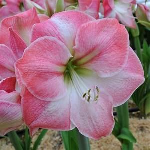Amaryllis Zum Blühen Bringen : wow die amaryllis 39 caprice 39 tr gt traumsch ne bl ten in ~ Lizthompson.info Haus und Dekorationen