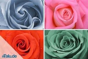 Rosen Schneiden Zeitpunkt : rosen schneiden anleitung zum rosenschnitt ~ Frokenaadalensverden.com Haus und Dekorationen