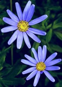 FELICIA AMELLOIDES (Blue Daisy) - Highbury Wildlife ...  Blue