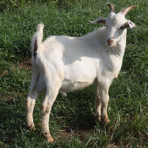 goat breeds goat breeds nigerian dwarf rachael edwards