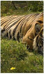 cat, Animals, Tiger, Nature Wallpapers HD / Desktop and ...