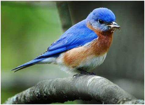 blue birds strobist bluebirds and stink bugs