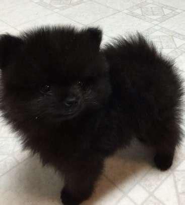 priceless black male pomeranian puppy  sale adoption  victoria melbourne metro  adpost