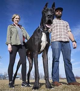 World's Tallest Dog? Meet Great Dane Rocko 7 feet tall and ...