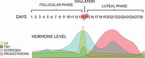 Wie Eisprung Berechnen : weiblicher zyklus eisprungkalender24 ~ Themetempest.com Abrechnung