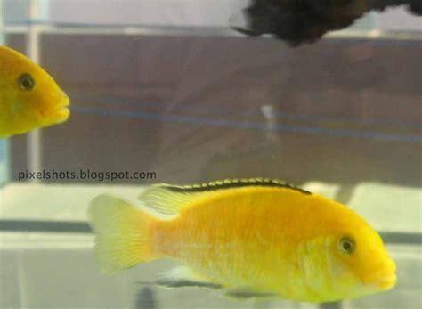 yellow cichlid aquarium fish  facts aquarium fish