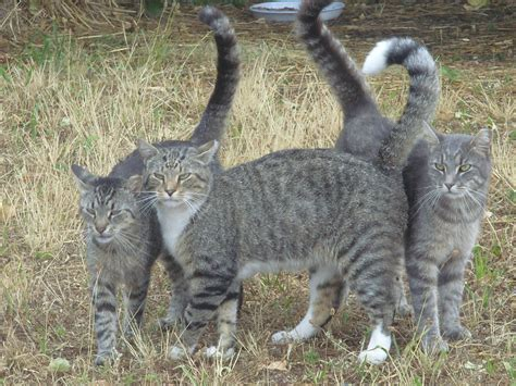 belmont s cat colonies backstretch