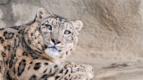wallpaper leopard national geographic rock animals