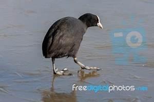 Coot (fulcia Atra) Gingerly Walking On The Ice At Warnham ...