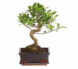 Pflege Bonsai Baum Indoor : bonsai birkenfeige 39 ginseng 39 in keramik dehner garten ~ Michelbontemps.com Haus und Dekorationen