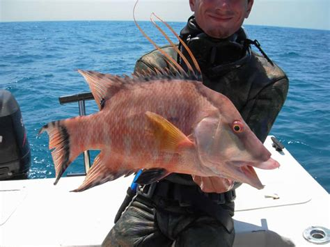fish capitan hogfish puerto rico english el spanish pound per fresh seafood species florida keys grouper key west fillets caught