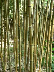 Bambou A Planter : phyllostachys aureosulcata wikipedia ~ Premium-room.com Idées de Décoration