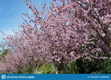 Japanese Cherry Trees Blooming In Spring Lush Pink