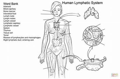 Lymphatic System Worksheet Coloring Pages Immune Human