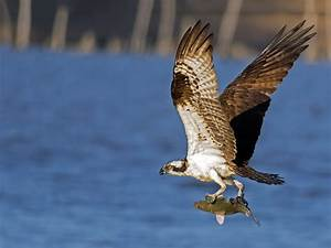 Osprey with Fish | © Brian E Kushner Nikon D500 Nikon ...