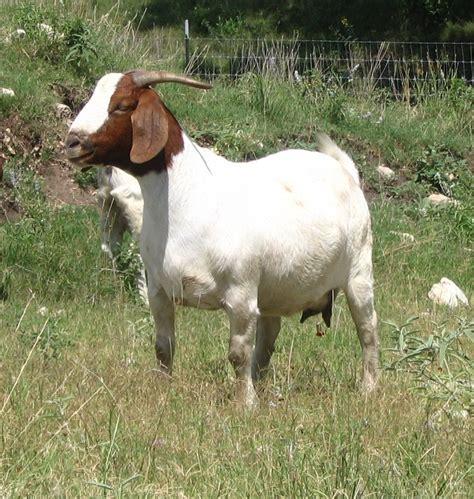 goat diseases vet medicine animal blog common diseases of goats