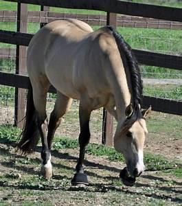 Dun Quarter Horse Stallion | www.imgkid.com - The Image ...