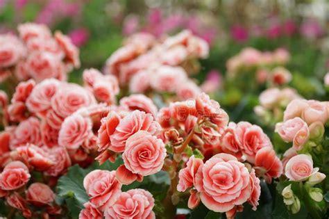 fiori begonie fiori dentellare delle begonie tuberose fotografia stock