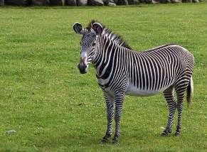 picture 2 of 14 zebra equus zebra equus quagga equus grevyi pictures images animals