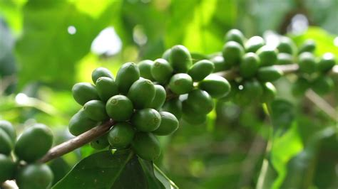 Yes, the arabica coffee plant with its rich, deep green, glossy leaves and easy care make coffee an excellent potted indoor house plant. Green coffee cherries beans on a coffee tree branch in organic farm Stock Video Footage ...