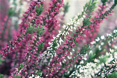 erica fiore erica pianta perenne dai fiori invernali giardino