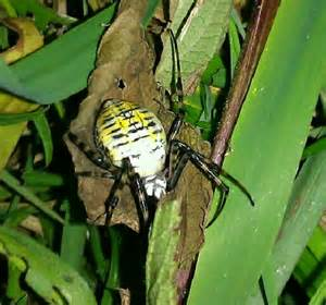 Black and White Spider with Yellow Stripes