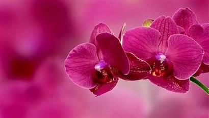 Orchid Flower Wallpapers 4k Pink Flowers Desktop