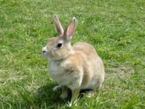 ウサギ:ウサギ「ネギ」(茶色ウサギ ...