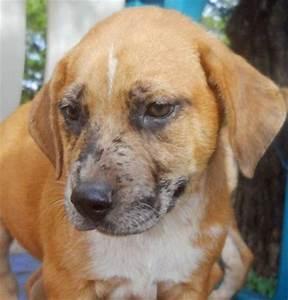 Beagle Pomeranian Mix Dogs