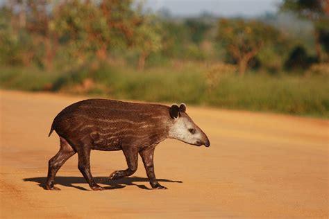 mammals odd toed hoofed perissodactyla