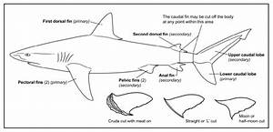 Diagram Of Whole Shark With Primary And Secondary Fin Sets