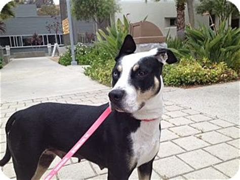 American Staffordshire Terrier Border Collie Mix Dog For