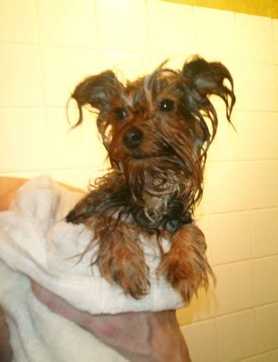 Miniature  Ee  Yorkshire Terrier Ee   Cats And Yorkies Dont Like