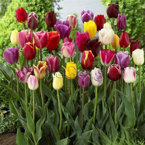 aliexpress buy tulip bulbs 1 bulb tulipa flower triumph tulip free shipping