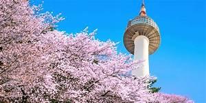 Cherry Blossoms of Korea: A 2018 Guide and Forecast ...