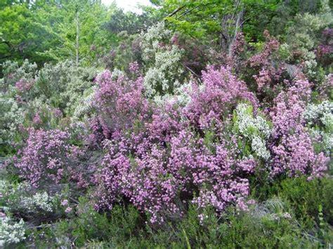 winter shrubs winter bushes with flowers 28 images winter blooming shrubs minerva s garden blog