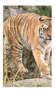 Download wallpaper 3840x2160 tiger, animal, predator, big ...