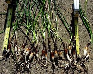 66 best images about bulbs and pruning on Pinterest ...