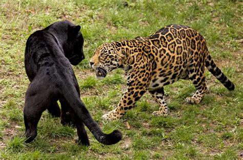 Jaguar Vs Leopard, Who Will Win? - Animals Comparison