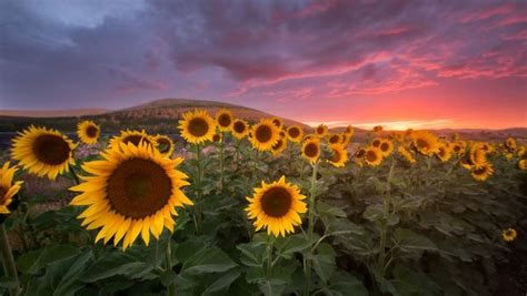 sunflower sunset      love