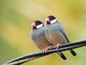 Java Sparrow Finch Birds