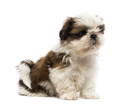 shih tzu dogs breed information omlet