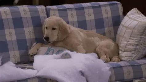 cosmo  couch gif fullerhouse dog discover share gifs
