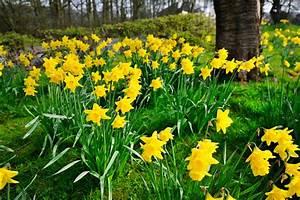 Wann Blühen Narzissen : bl tezeit von narzissen wann bl hen die osterglocken ~ Eleganceandgraceweddings.com Haus und Dekorationen