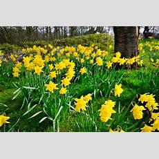 Blütezeit Von Narzissen » Wann Blühen Die Osterglocken?