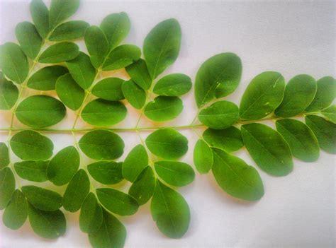 Uses of Moringa   uses of Moringa Leaves   NaturoCosmos