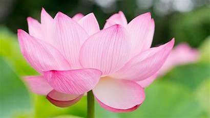 Flower Computer Backgrounds Lotus Wallpapertag