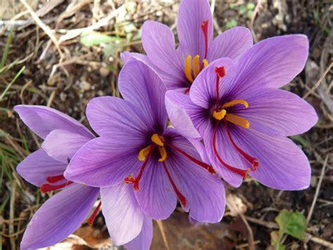 saffron flower crocus sativus saffron crocus world of flowering plants