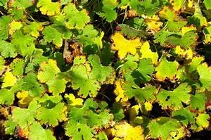 Geranien Gelbe Blätter : geranien mit gelben bl ttern was k nnen sie dagegen tun ~ Orissabook.com Haus und Dekorationen